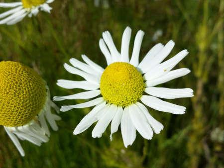 eye: Ox-eye daisy in summer sunshine in green meadow Stock Photo