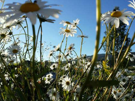 oxeye: Majestic ox-eye daisy flowers in summer sunshine closeup Stock Photo