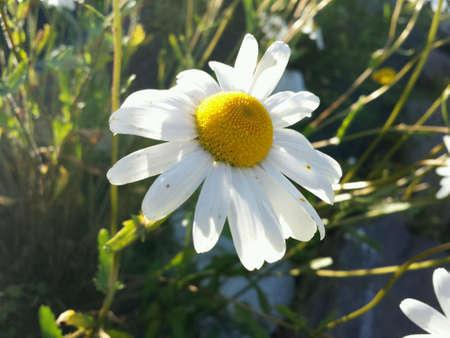 eye: Majestic ox-eye daisy flowers in summer sunshine closeup Stock Photo