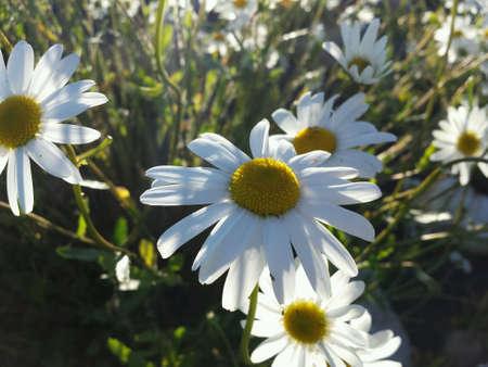 ox eye: Majestic ox-eye daisy flowers in summer sunshine closeup Stock Photo