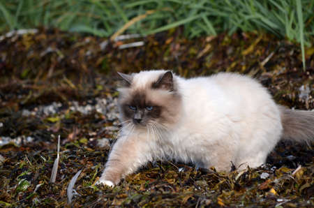 azure blue eyed cat prowling the sea weed covered shore for prey