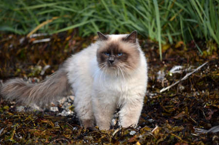 sea weed: azure blue eyed cat prowling the sea weed covered shore for prey