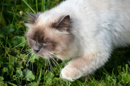 beautiful azure blue eyed cat prowling in green vegetation Stock Photo