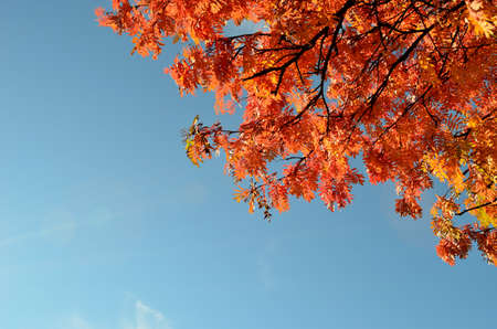 vibrant autumn rowan tree branch with leaves and blue sunny sky