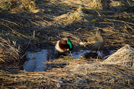 Male and female mallard ducks in spring forest looking for food in mud puddles