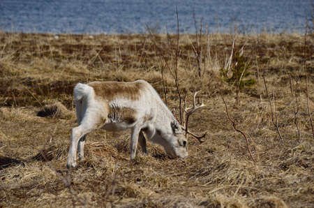 rack mount: beautiful reindeer grazing on spring pasture in northern Norway