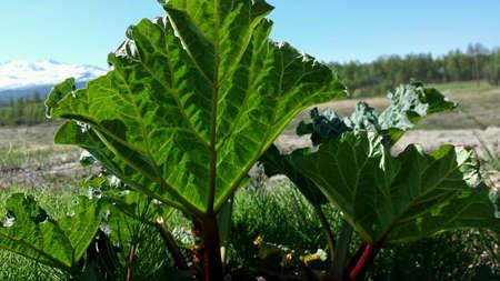 Growing rhubarb in summer sunshine closeup Stock Photo