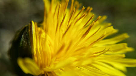 colorful: Yellow coltsfoot flower in summer sunshine macro photo center frame