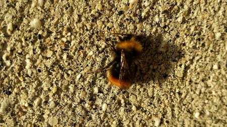 Small bumblebee on concrete wall in sunshine Zdjęcie Seryjne