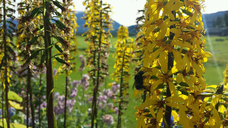 Beautiful bumblebee on tall yellow flower in summer