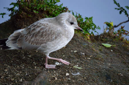 seagull wandering on pond shore
