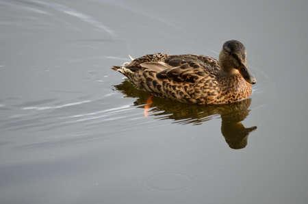 vegatation: beautiful mallard duck swimming on calm summer pond Stock Photo