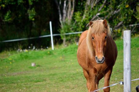 beautiful light brown horses on green lush summer pasture