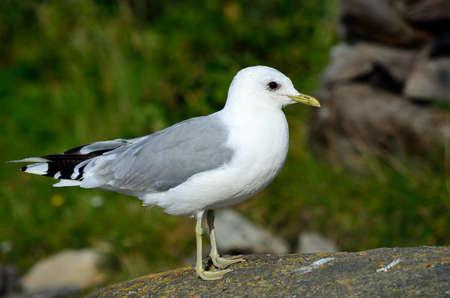 seagull posing on big seashore boulder Zdjęcie Seryjne