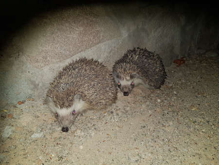 Two hedge hogs sleeping at night