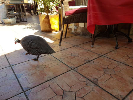 A big turkey wandering around inside a restaurant