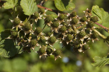 rosoideae: Green berries of a blackberry