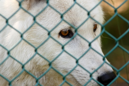 Captive arctic wolf (Canis Lupus) looks through the chain link fence that keeps him in his enclosure photo