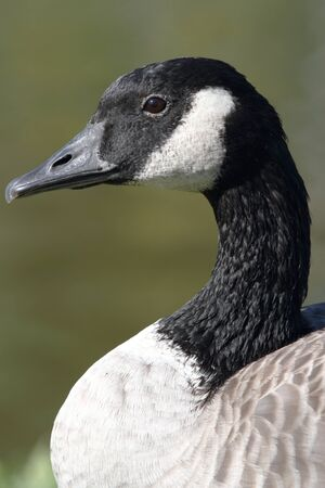 A Canada goose (Branta canadensis) closeup showing details of the head and beak photo