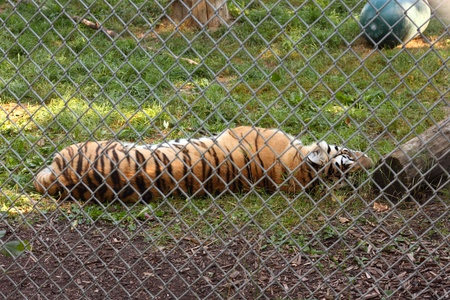 A tiger lying in its enclosure in a zoo photo