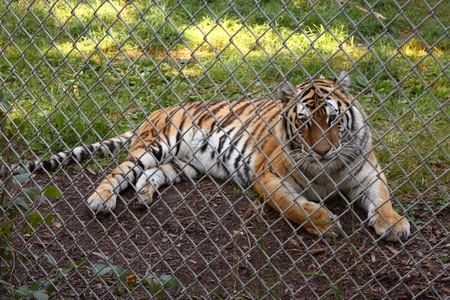 A tiger looks out through the wire fence of its enclosure. photo