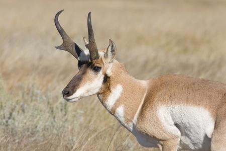 Adult American Pronghorn Antelope (Antilocapra americana) from southern Saskatchewan Canada.  photo