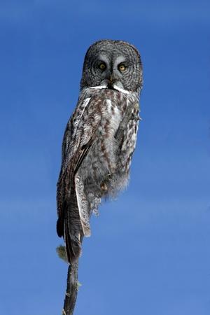 perching: Great Grey Owl (Strix nebulosa)