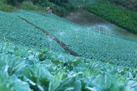 sprinklers: Water sprinklers and cauliflower garden. Vegetable garden. Stock Photo
