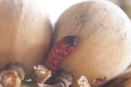 decomposed: worms take lunch eating Fruit rot