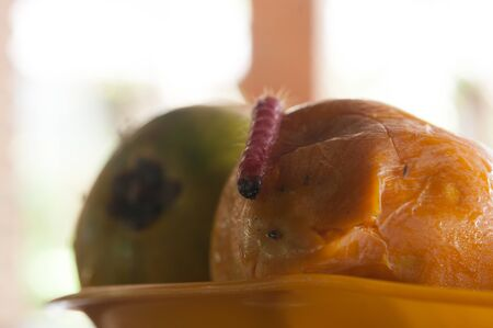 rot: worms take lunch eating Fruit rot