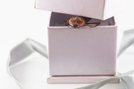 scavenging: Close Up of cockroach in a Gift box on White background Stock Photo