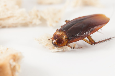 scavenging: cockroach eating bread on a  White background Stock Photo