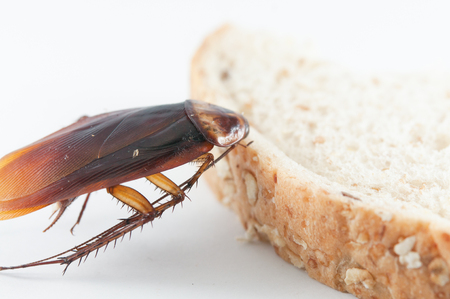 scavenging: Close Up of cockroach on a bread and  White background
