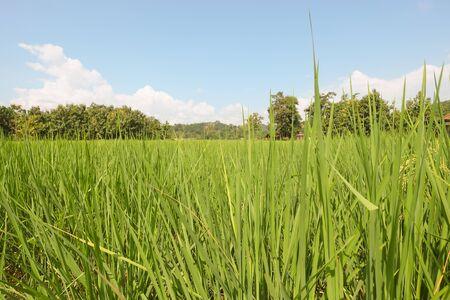 garden green: Garden green rice fields Stock Photo