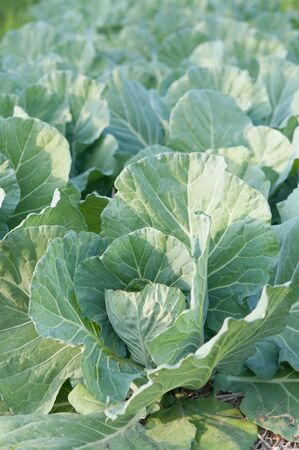 cabbage patch: cabbage in the garden