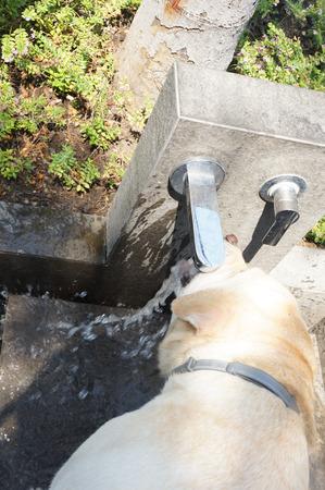 sediento: perro samoyedo sed