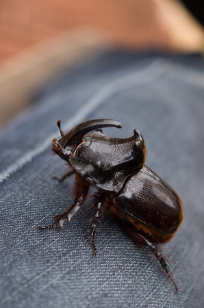 Beetle (Oryctes nasicornis) With Beautiful Background Stock Photo