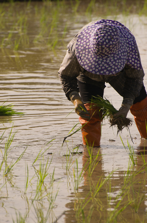 transplant: farmer transplant rice seedlings, Thailand, asia Stock Photo