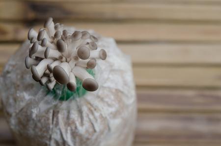 many babies: the oyster mushroom farm. mushroom growing in mushroom farm Stock Photo