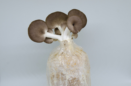 Mushrooms from the Garden, Indian Oyster, Phoenix Mushroom or Lung Oyster Stock Photo