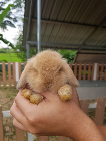 Rabbit Holland Lop 1 month old, soft brown. Foto de archivo