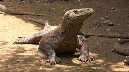 Gorgeous Komodo is looking for food, Located in Komodo Island, Indonesia