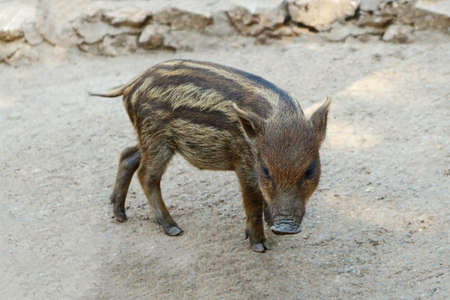 Baby Wild Boar Walking On The Ground Stock Photo