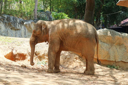 Young Asian Elephant Standing on the Ground Stock Photo