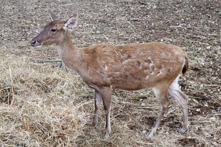 Young Asian Deer Standing on the Ground Stock Photo