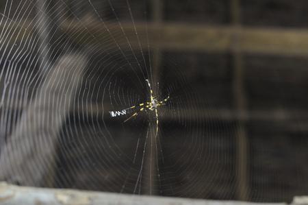 wood spider: Spider on Roof
