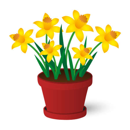 jonquil: spring yellow daffodils growing in red pot