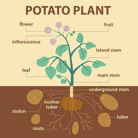 an inflorescence: illustration showing parts of potato platnt - agricultural infographic potatoes scheme with labels for education of biology -  flower, inflorescence, leaf, stem, stolon, roots and tubers Illustration