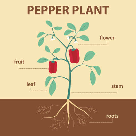 vector illustration showing parts of pepper whole plant - agricultural infographic capsicum scheme with labels for education of biology -  flower, leaf, stem, roots, fruit