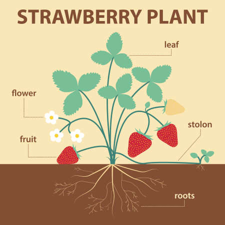 vector illustration showing parts of strawberry whole plant - agricultural infographic strawberries scheme with labels for education of biology - flower, leaf, stolon, roots, fruit Stock Illustratie